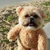 Munchkin the Teddy Bear